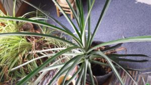 Ananaspflanze gross