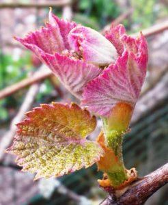 Austrieb der Erdbeertraube (Uva Fragola), Isabella