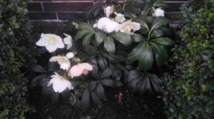 Weiße Christrose