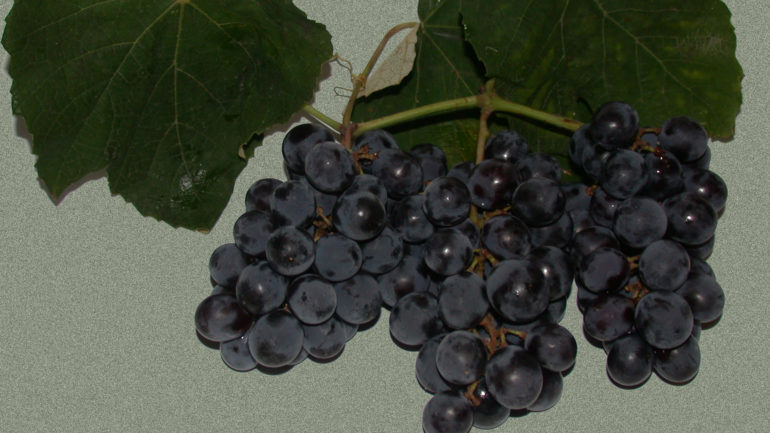 Erdbeertraube Uva Fragola