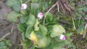 Gruppe weiß-violetter Gänseblümchen
