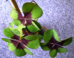 Glücksklee Oxalis tetraphylla