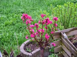 Zwergpfirsichblüte