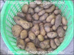 Biokartoffel Linda
