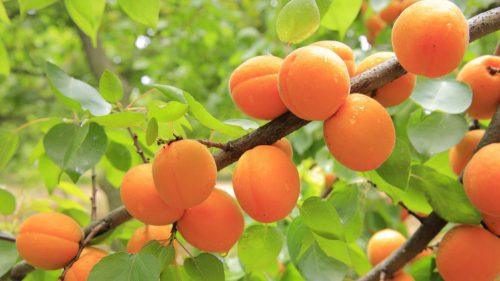 Welche Aprikosen sind für unser Klima geeignet?