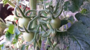 Grüne Tomaten am 10.05.