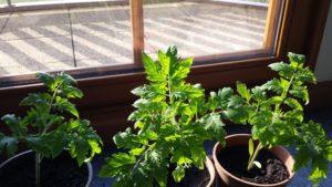 Tomatenpflanzen mit kräftigem Wachstum