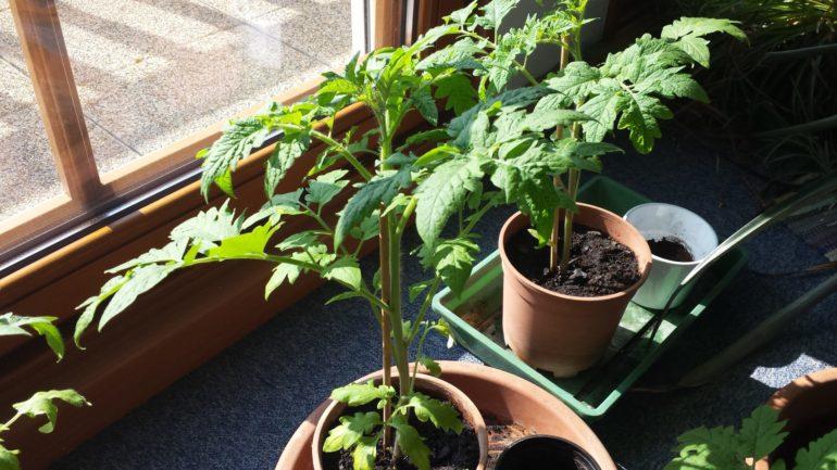 Tomatenpflanzen am 5. April