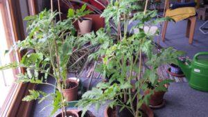 Tomatenpflanzen am 22. April 75cm Höhe