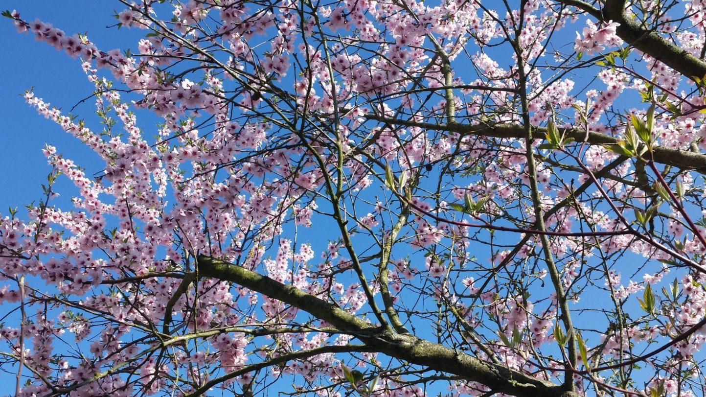 Mandelblüte bald vorbei