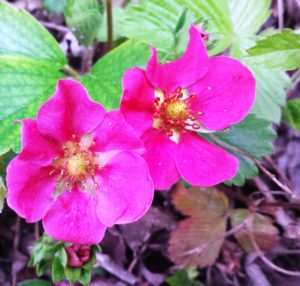 Erdbeeren mit pinkfarbener Blüte