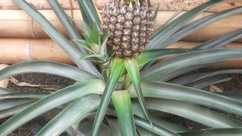 Ananas mit Frucht