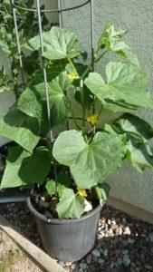 Gurkenpflanzen im Kübel