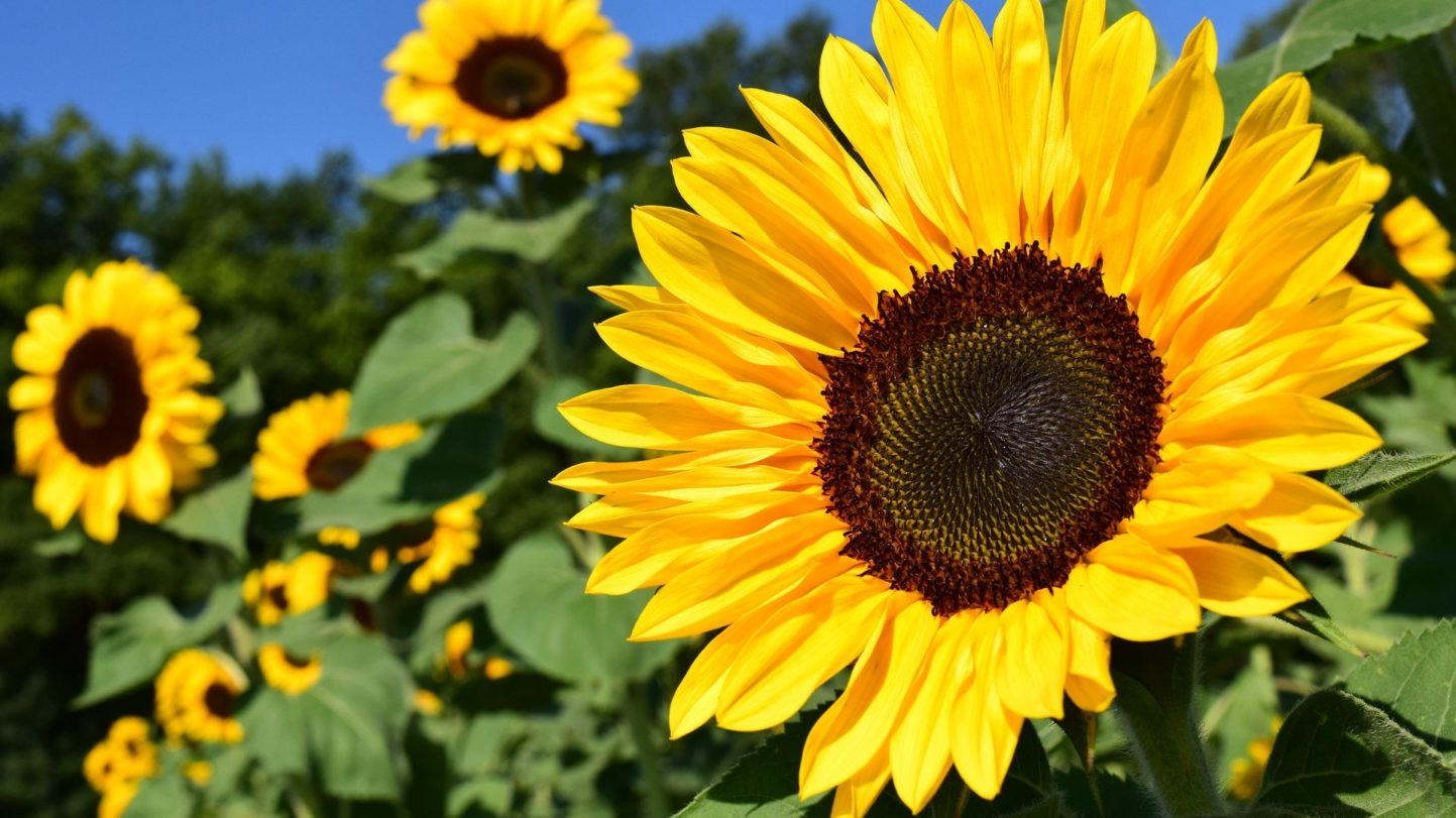 Sonnenblumen bilden Körbe
