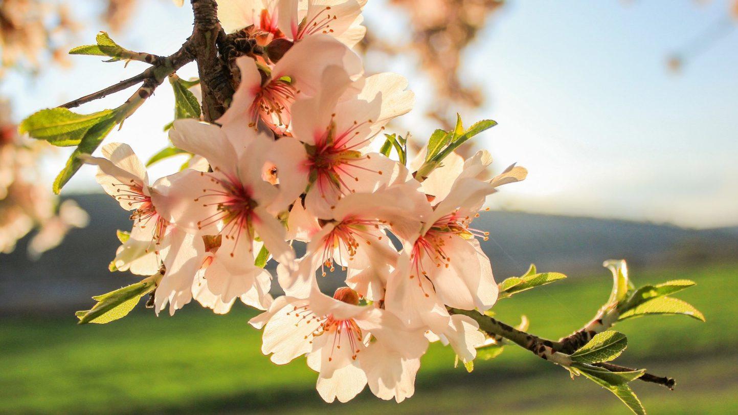 Der Mandelbaum blüht